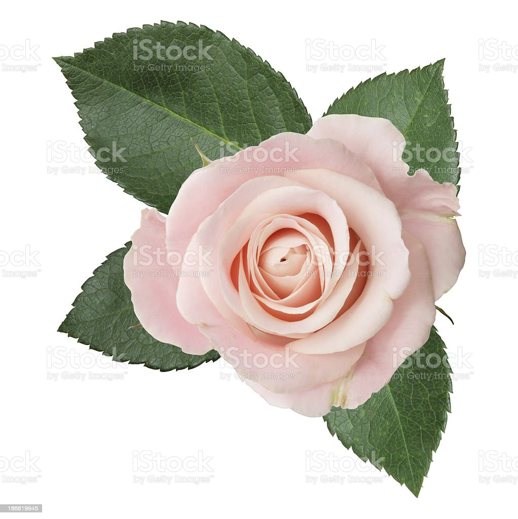 Pink rose isolated royalty-free stock photo