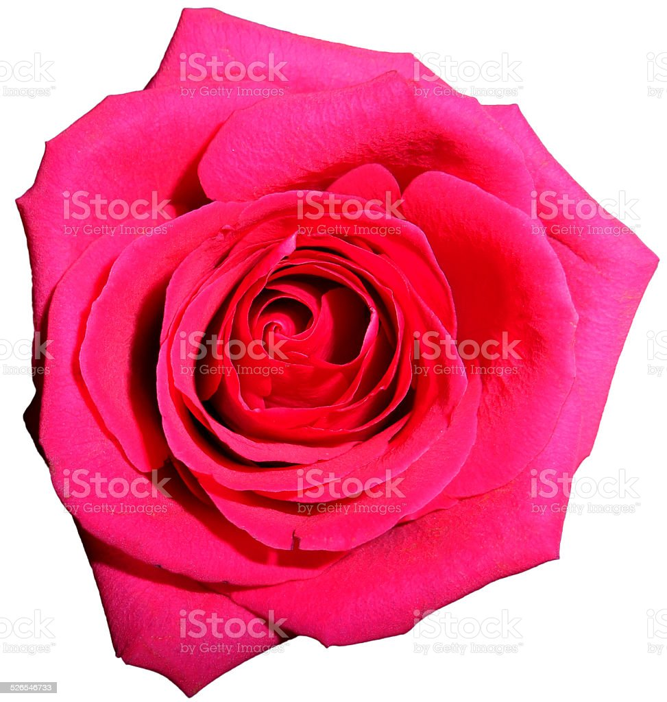 Pink rose, Isolated stock photo