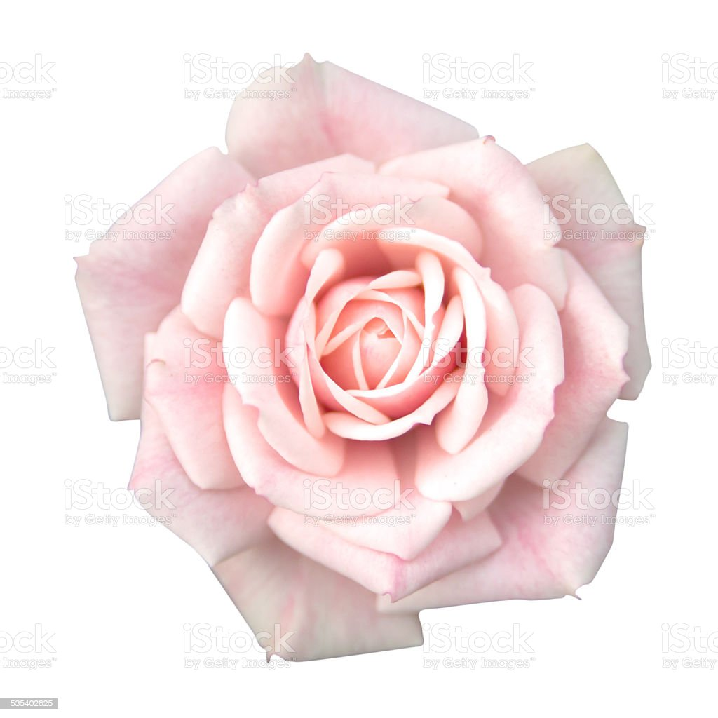 Pink rose isolated with clipping path stock photo