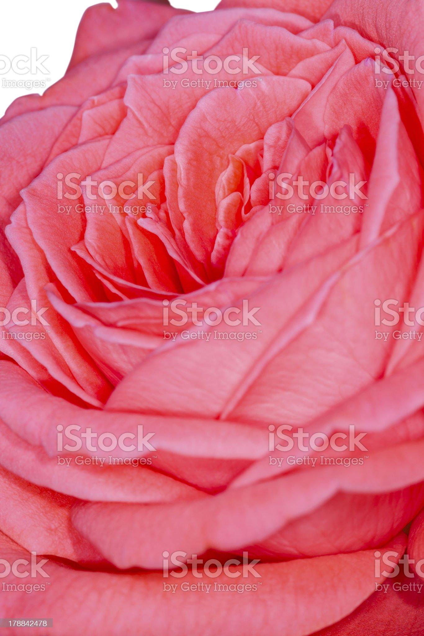 Pink rose macro royalty-free stock photo