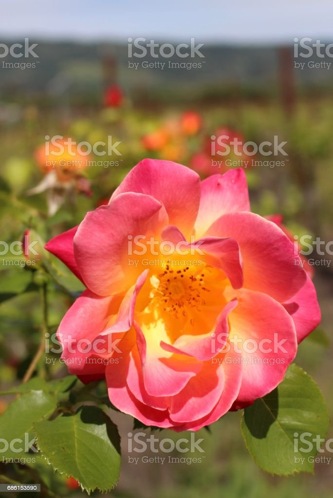 Pink Rose, Napa Valley, CA stock photo
