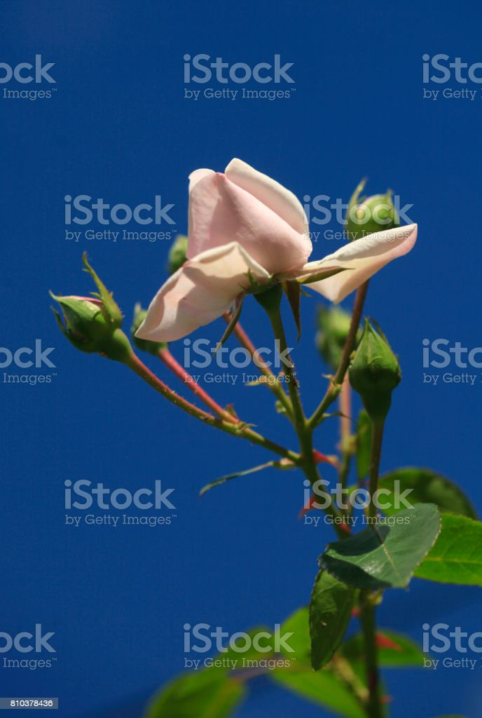 pink rose on blue background stock photo