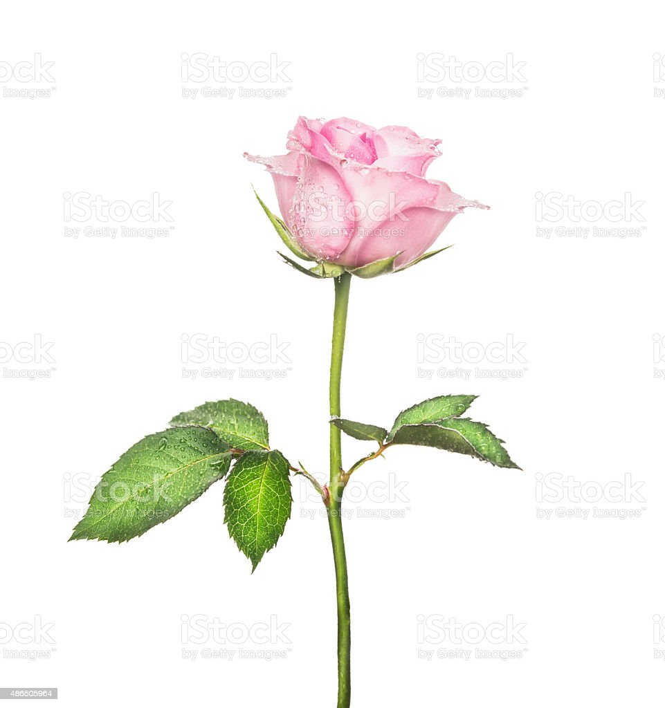 pink rose on long stalk with leaves, isolated stock photo