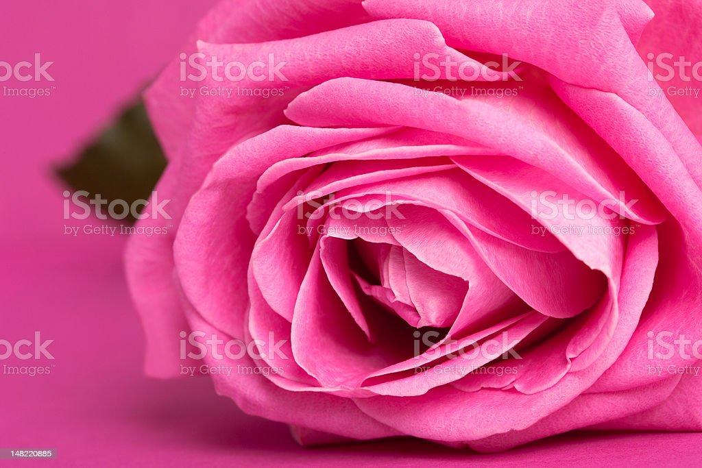 Rosa em Fundo rosa magenta foto de stock royalty-free