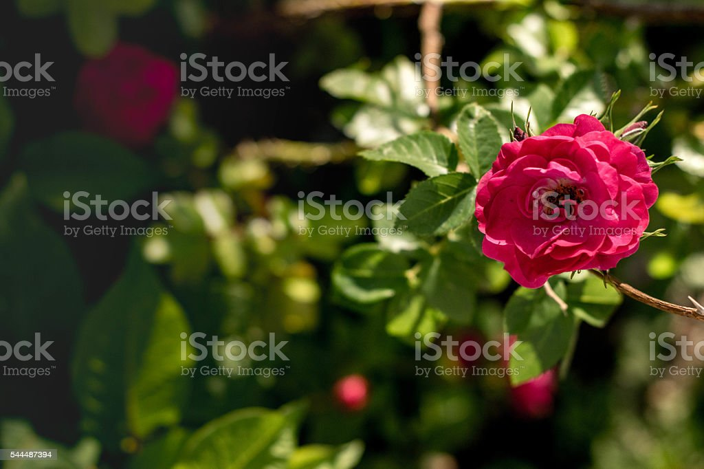 Pink Rose on right stock photo