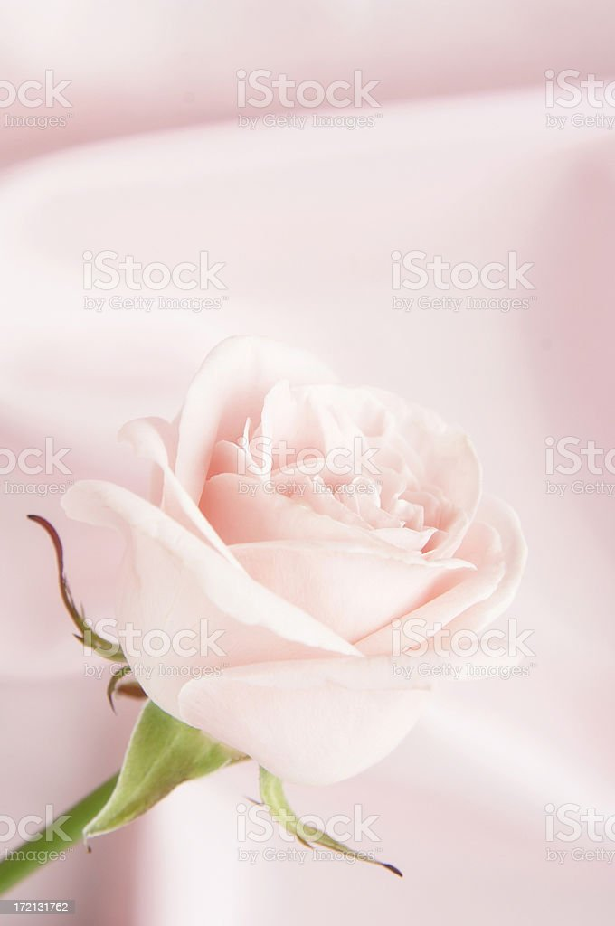 Pink rose on satin background royalty-free stock photo