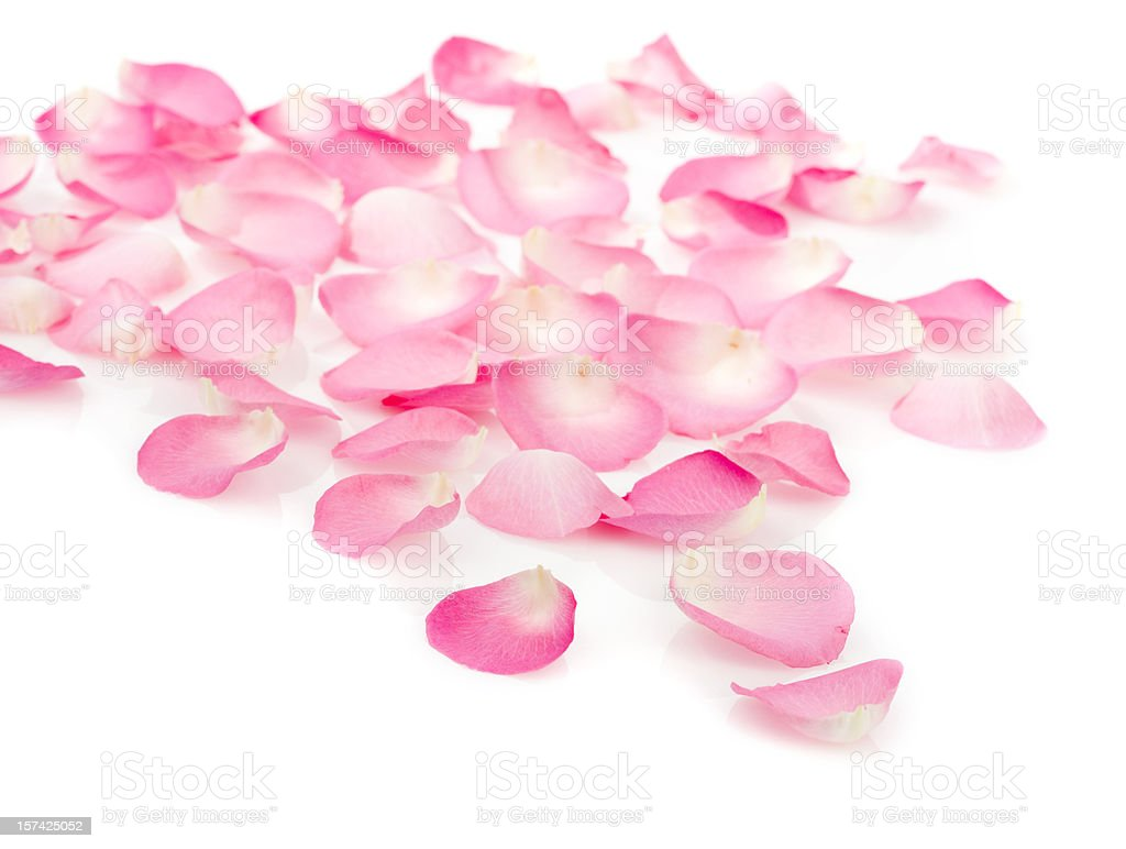 Pink rose petals on white stock photo
