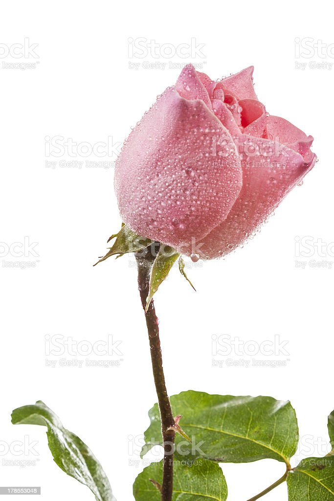 Pink rose (Clipping path) royalty-free stock photo
