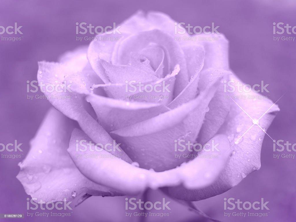 Pink rose royalty-free stock photo