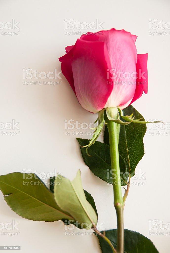 rose rosé photo libre de droits