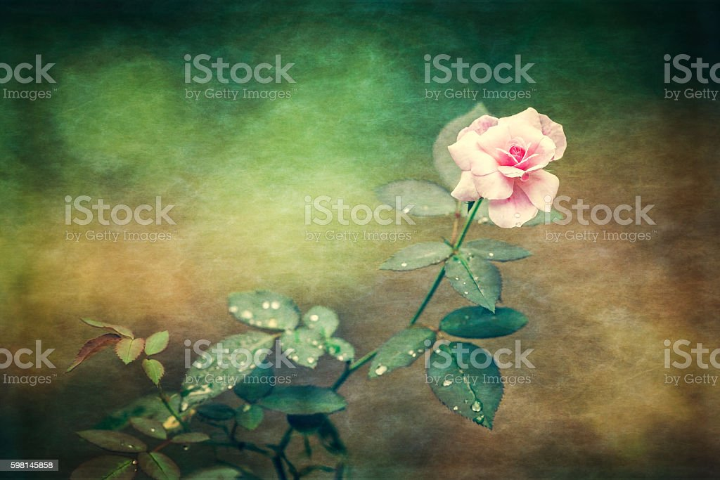 Pink rose stock photo