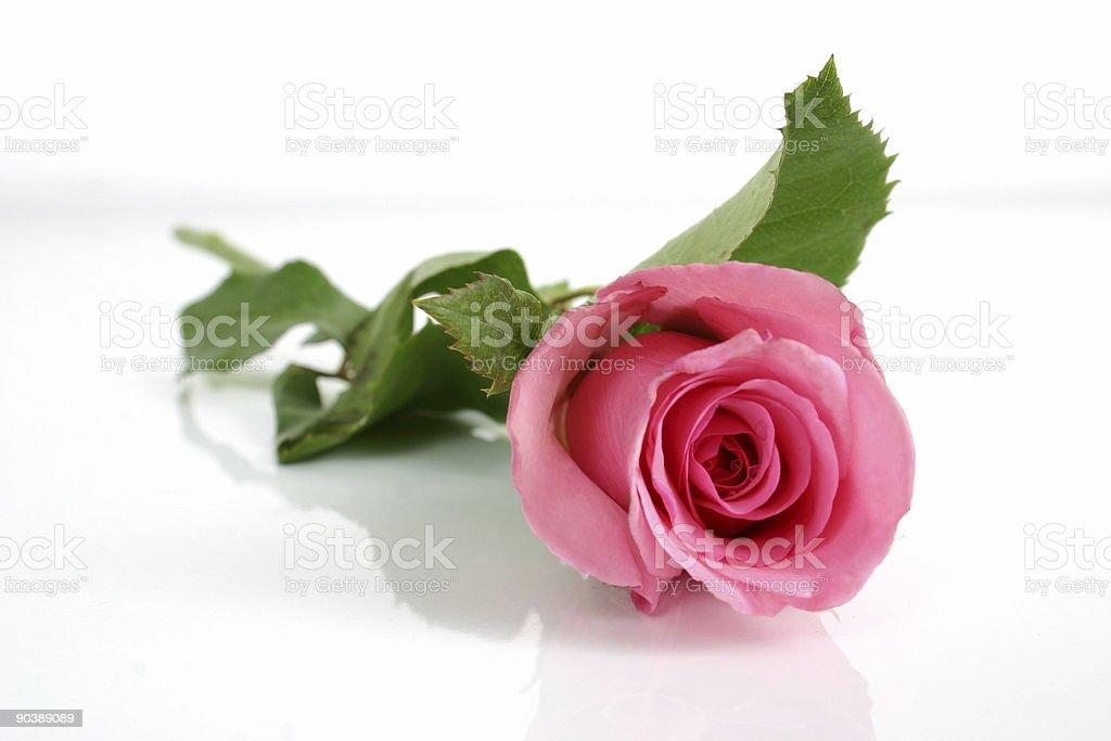 Pink rose Lizenzfreies stock-foto