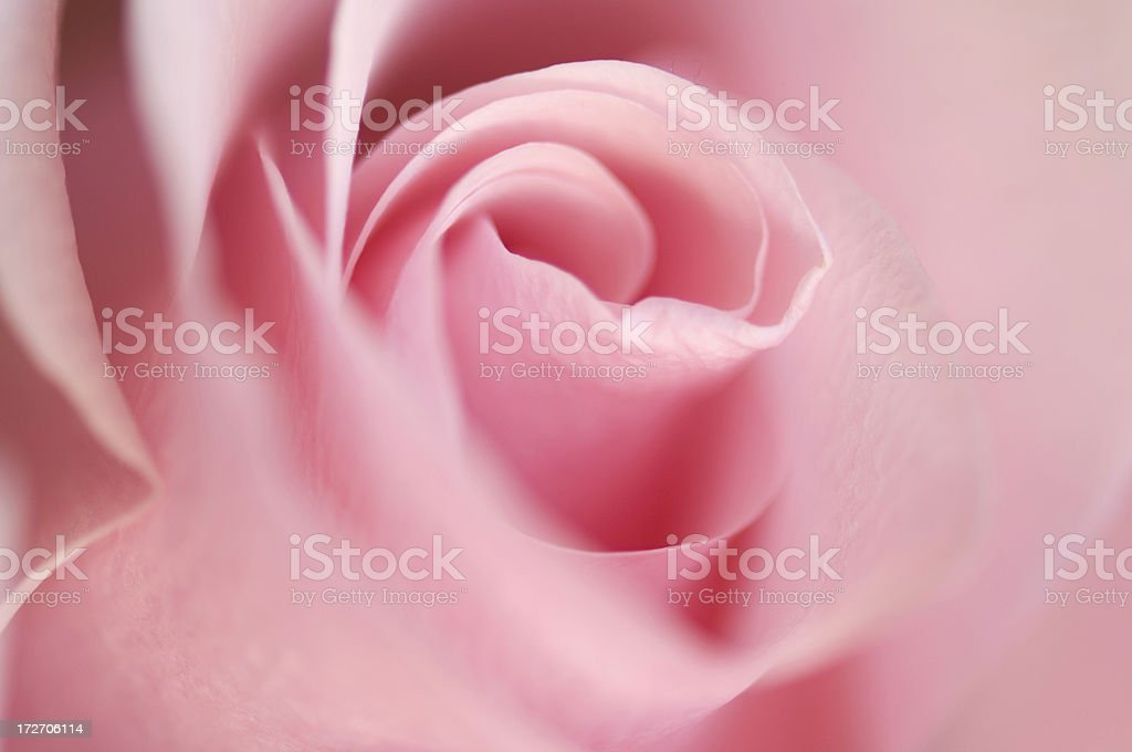 Pink Rose Selective Focus royalty-free stock photo