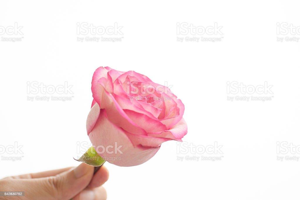 se leva rose qui est à la main photo libre de droits