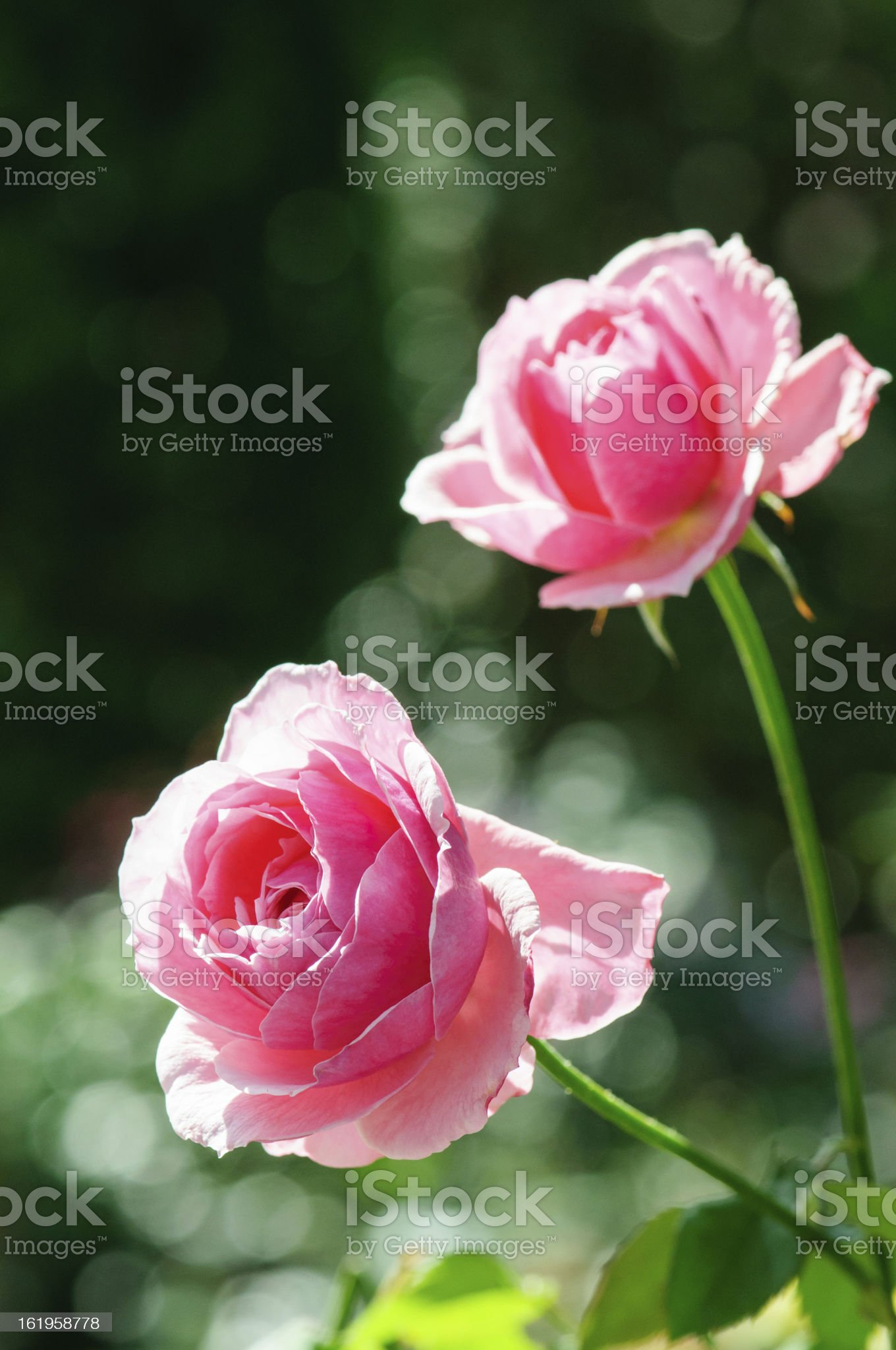 Pink Rose under the Sun royalty-free stock photo