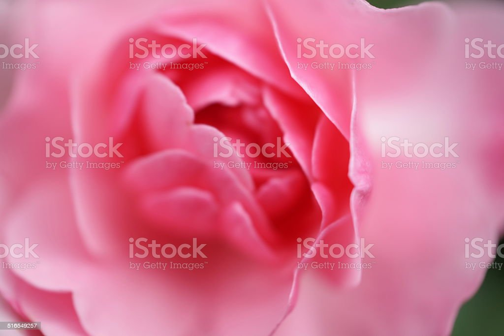 Pink Rose With Dreamy Soft Bokeh stock photo