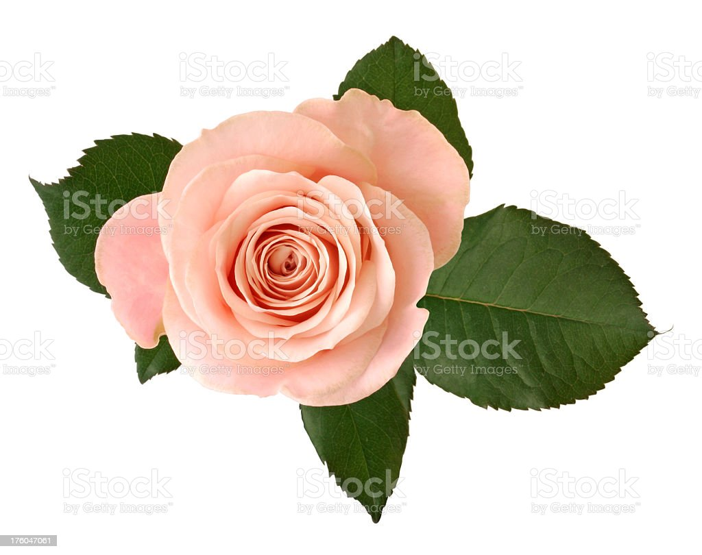 Pink rose with green leaf on white background stock photo