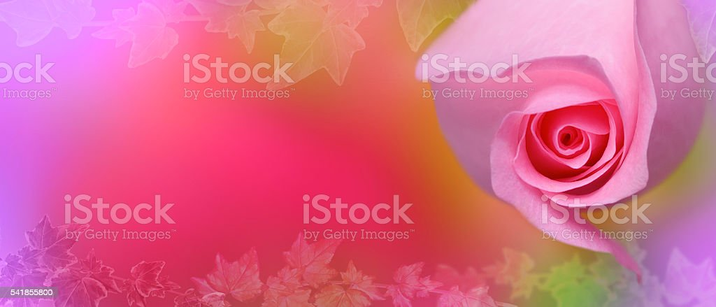 Pink rose with ivy background stock photo