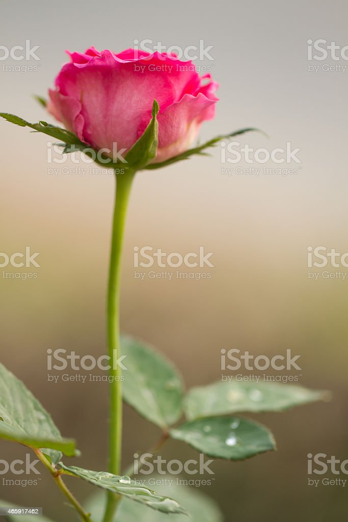 pink rose with leaves royalty-free stock photo