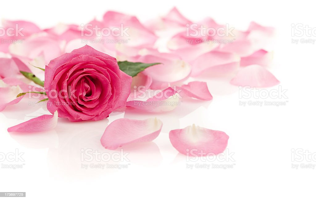Pink Rose with Petals stock photo