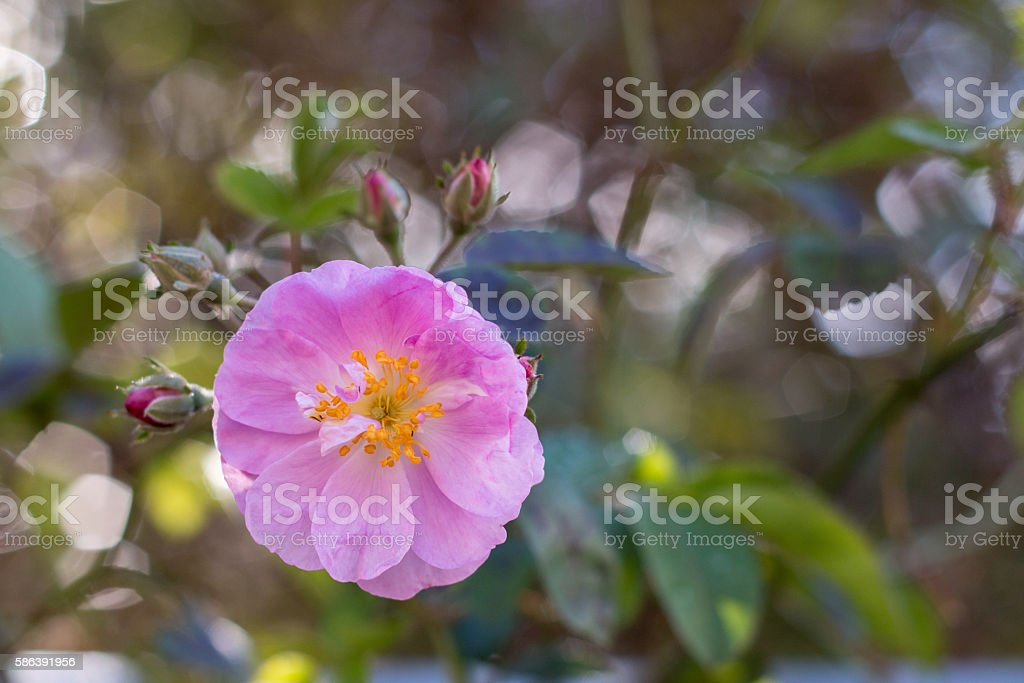 Pink Rose with sparkling bokeh stock photo