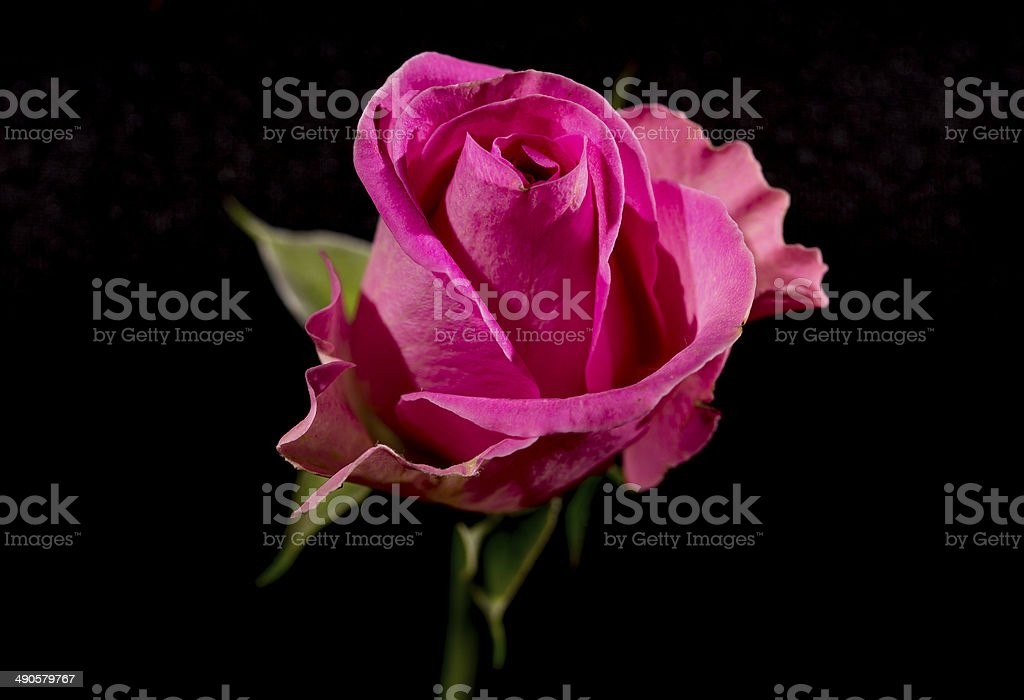 Pink Rosebud on Black royalty-free stock photo