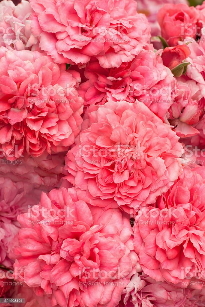 pink roses bouquet background stock photo