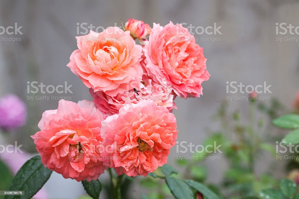 pink roses bouquet  blooming in the morning stock photo