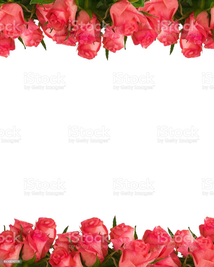 Pink roses four-fifths on white. stock photo