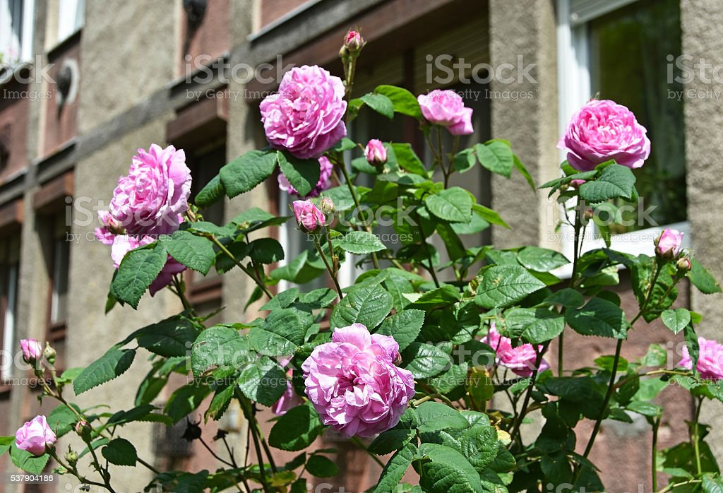 Pink roses in front of an apartment building stock photo