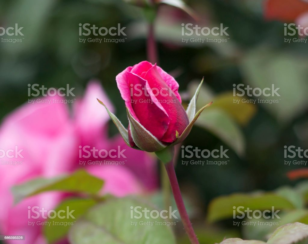 Pink roses in garden - Stock image stock photo