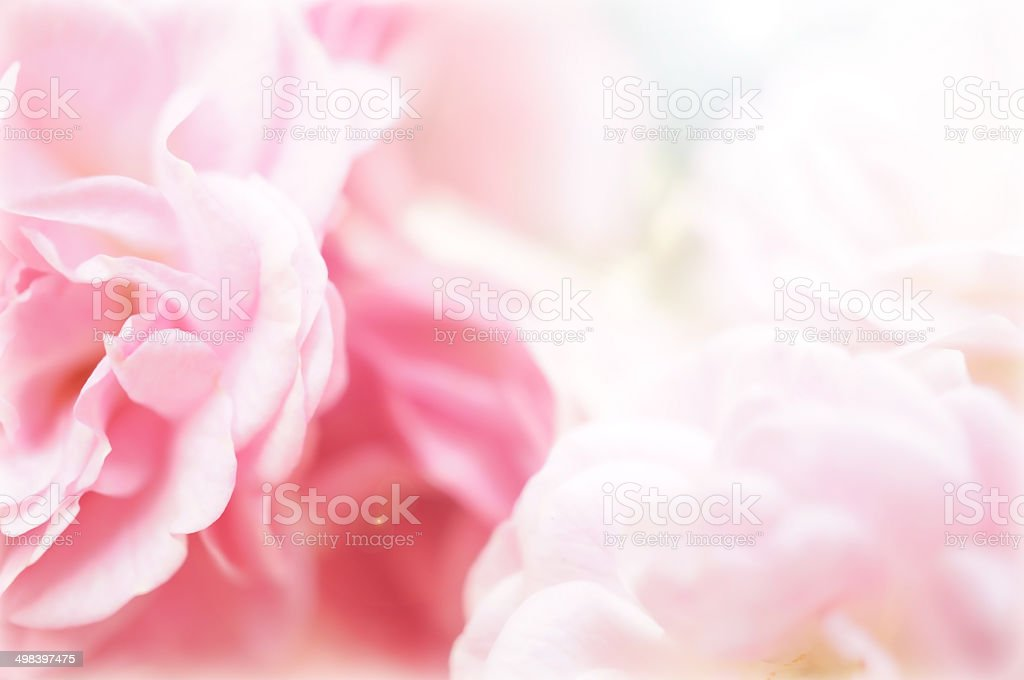 pink roses in soft color style for background stock photo
