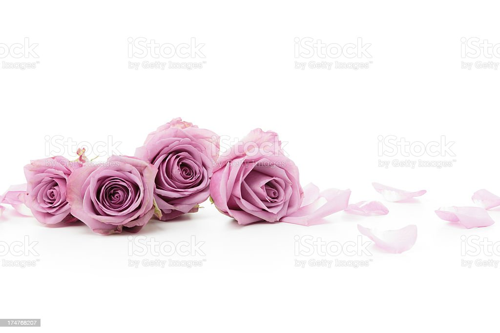 Pink Roses laying down stock photo
