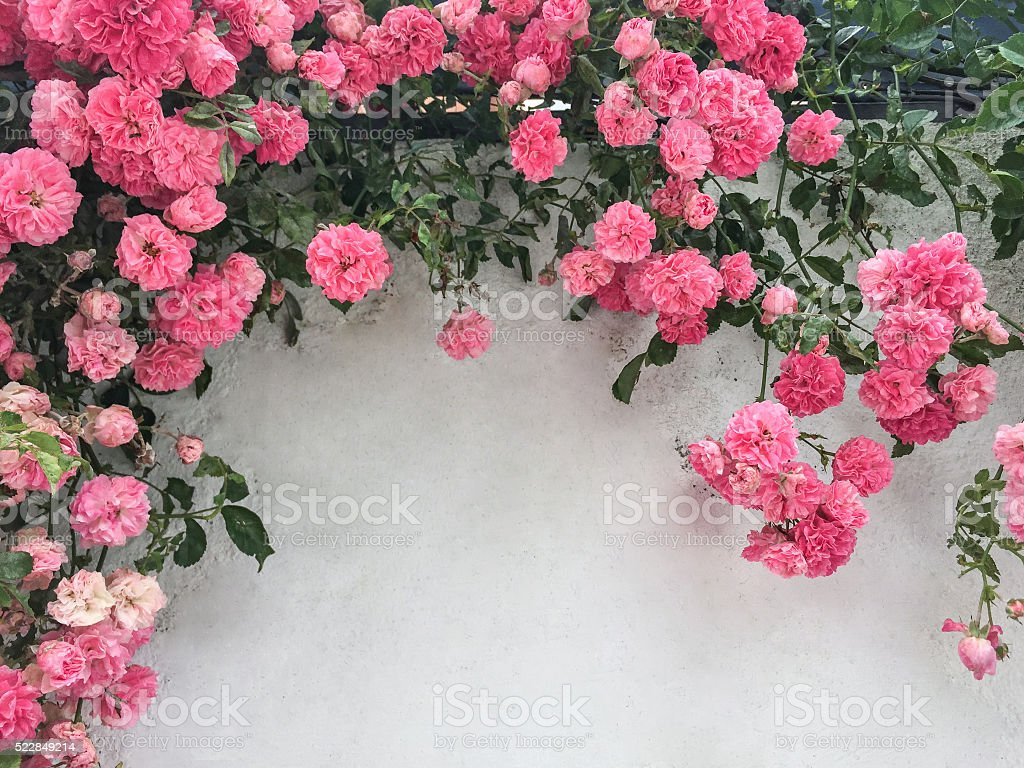 pink roses on wall stock photo