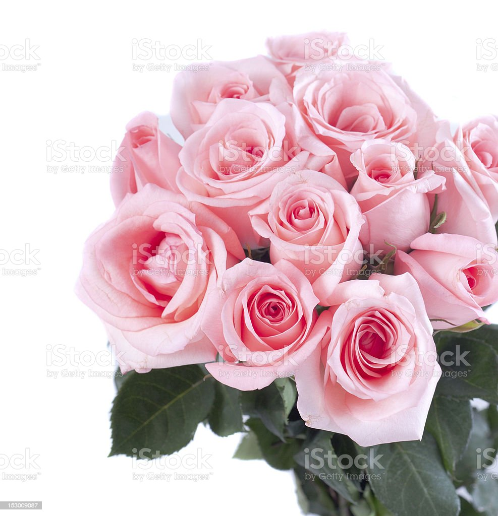 Pink roses on white background royalty-free stock photo