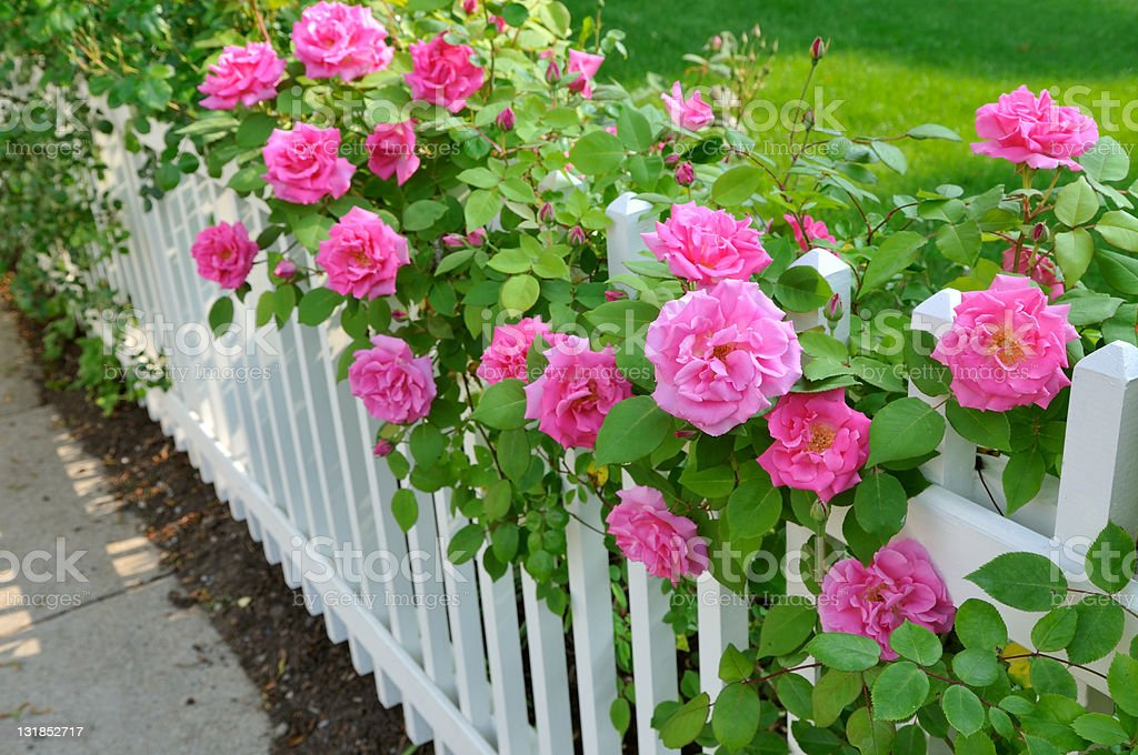 Pink Roses on White Fence stock photo