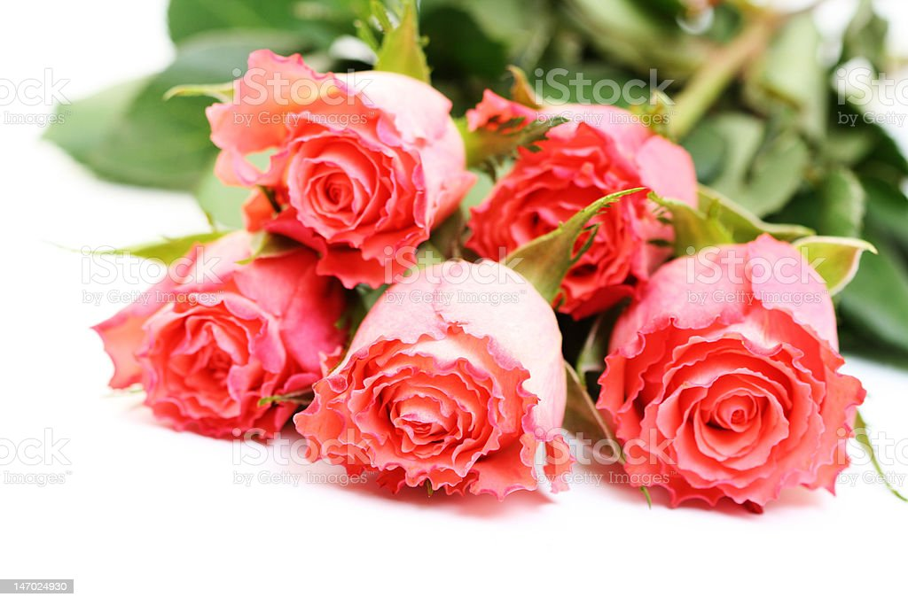 pink roses on white royalty-free stock photo