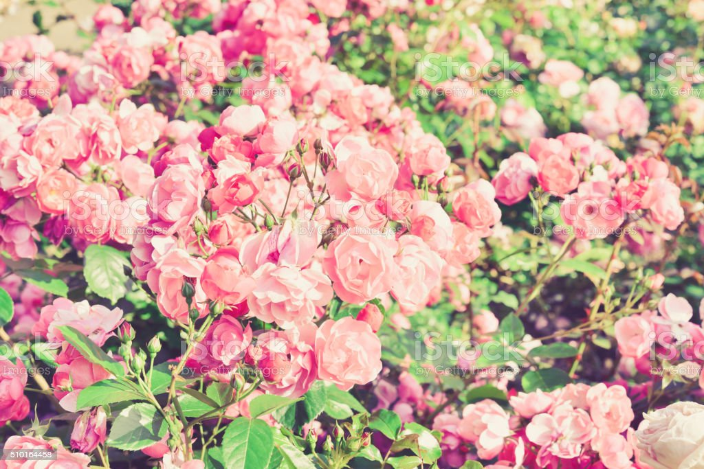 Pink Roses. Vintage floral background. Toned image in retro style. stock photo
