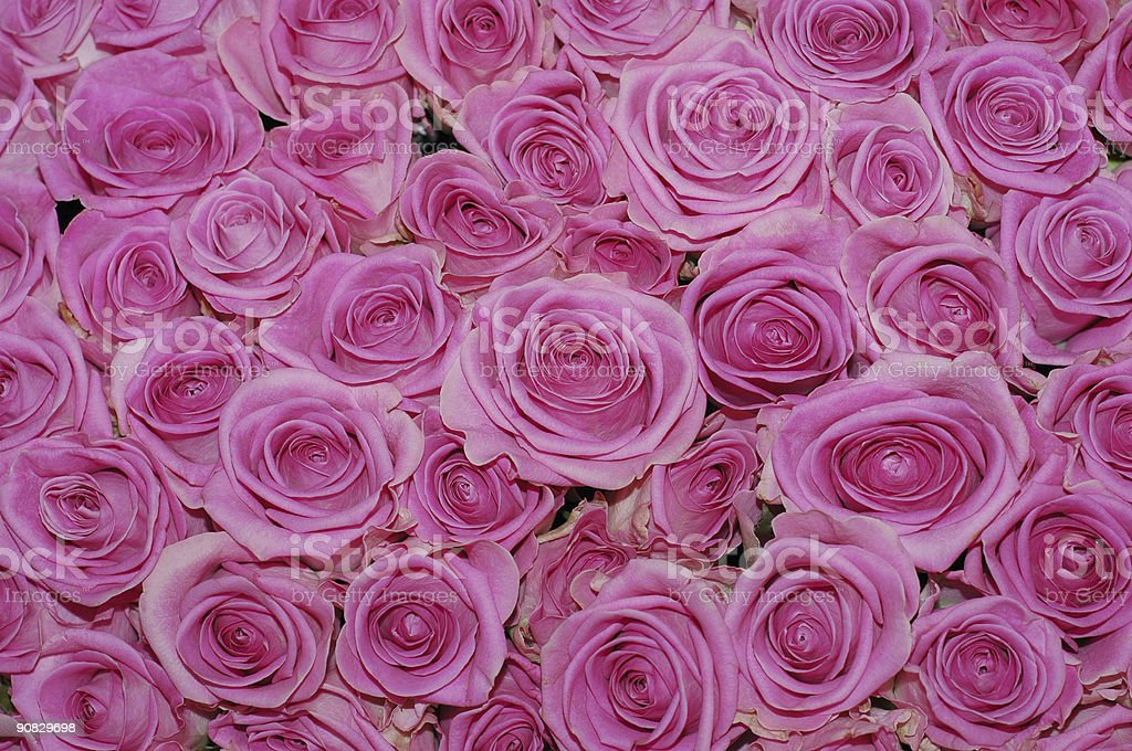 Pink roses,Valentine,wedding, royalty-free stock photo