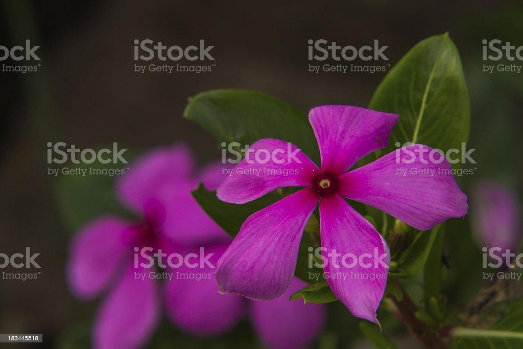 Pink Roseus flowers in garden royalty-free stock photo