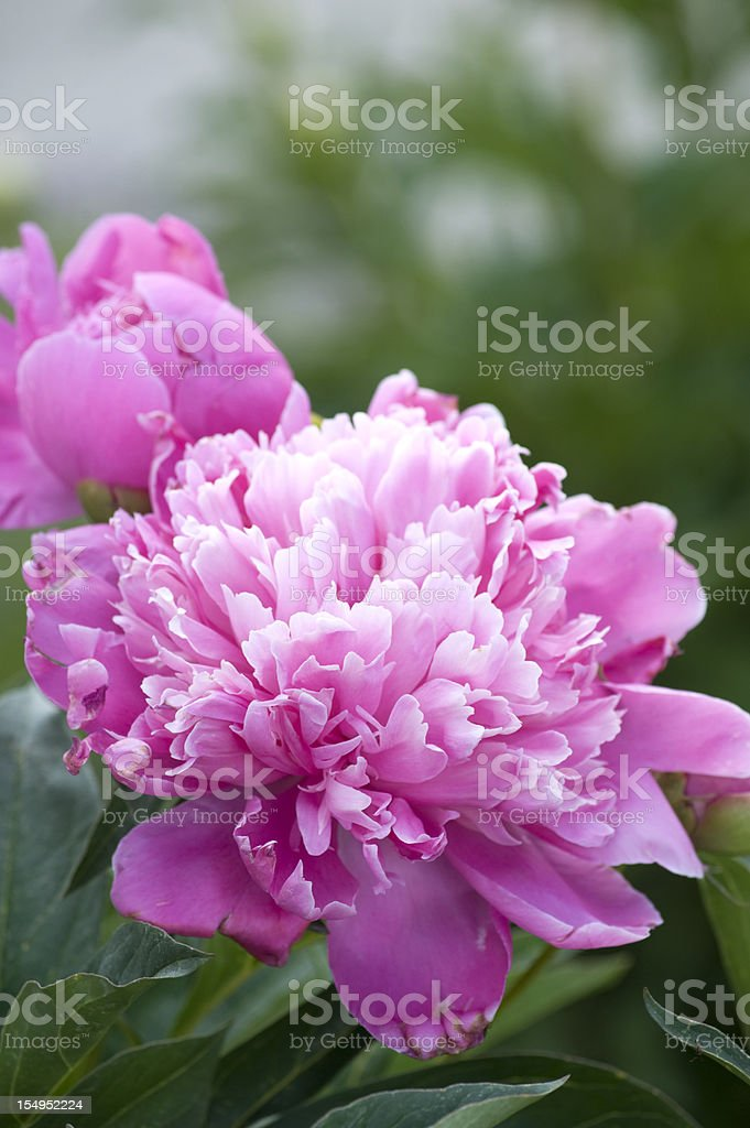 Pink ruffled peony also known as Paeonia Lactiflora stock photo