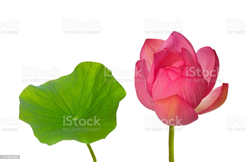Pink sacred lotus and leaf isolated on white background stock photo