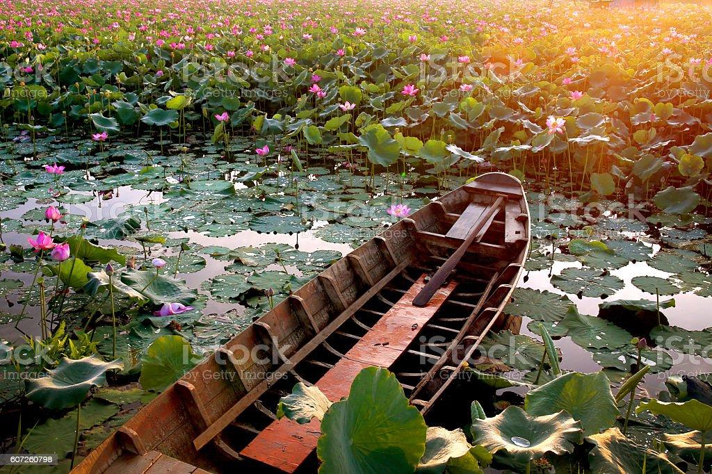 Pink Sacred Lotus lake in the morning stock photo