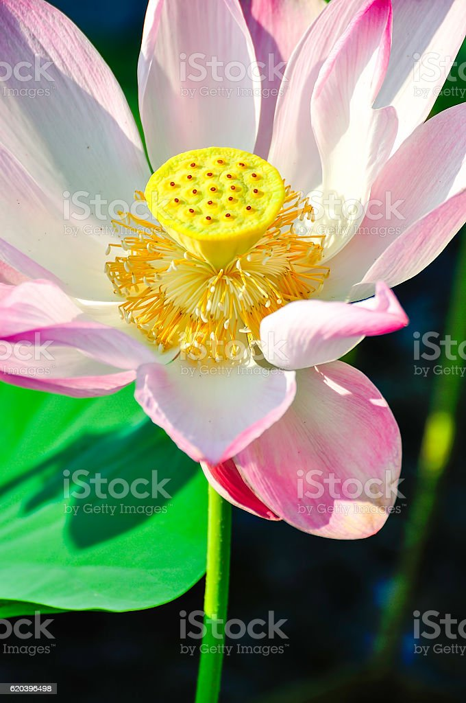 Pink sacred lotus stock photo