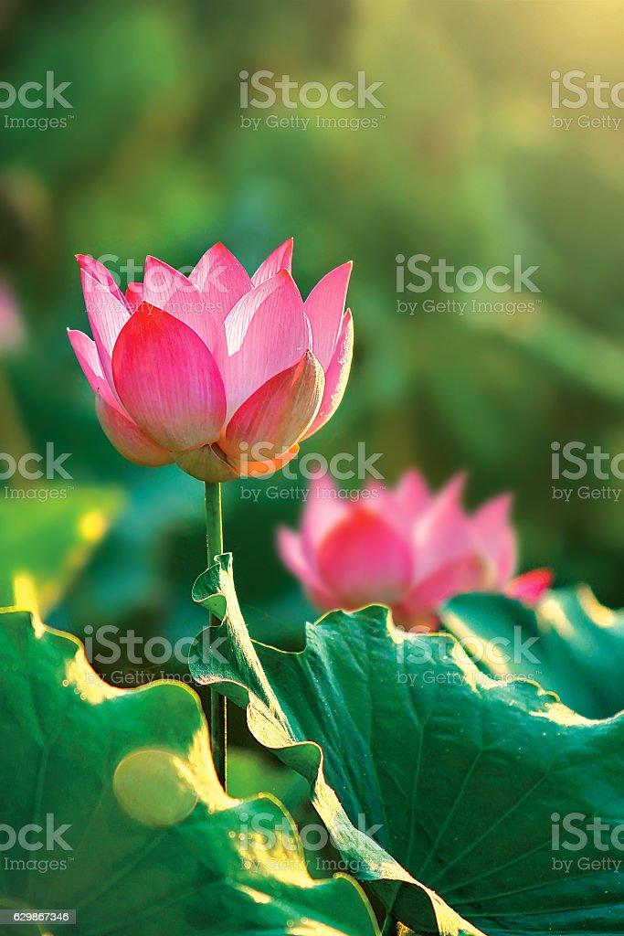 Pink Sacred Lotus (Nelumbo nucifera) stock photo