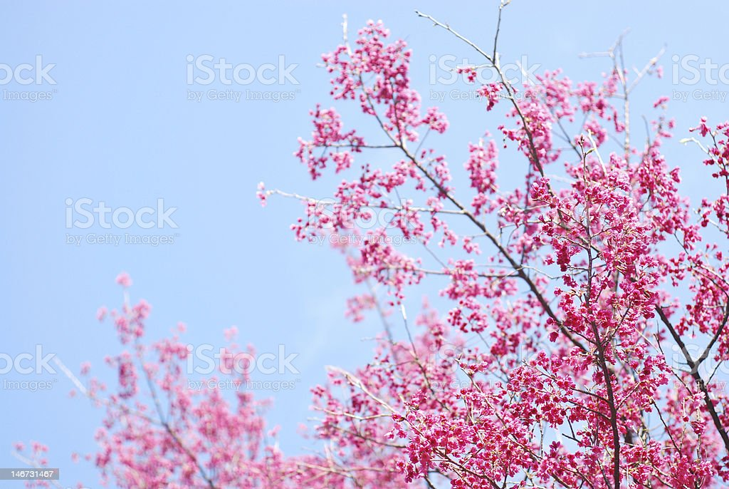 Pink sakura and blue sky stock photo