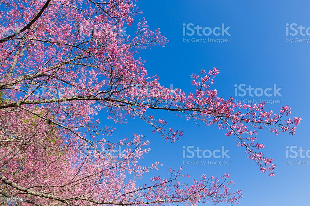 Pink Sakura flower blooming on blue sky background. stock photo