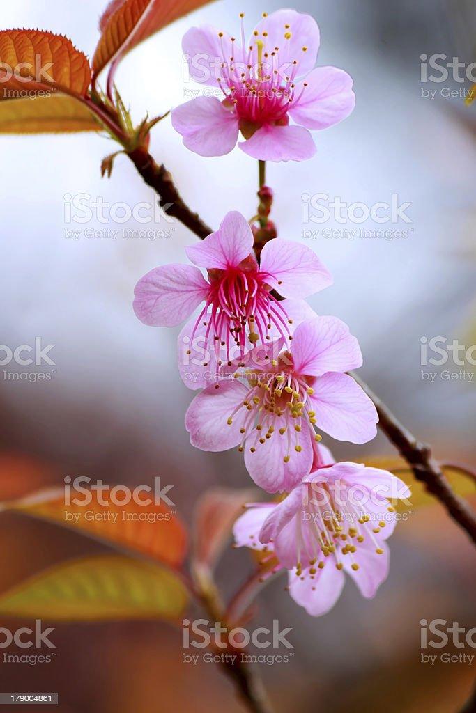 Pink sakura royalty-free stock photo