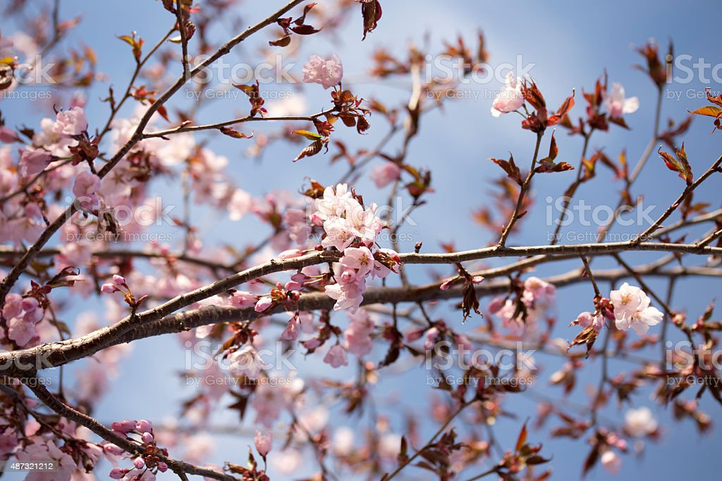Pink Sargent Cherry Blossoms stock photo