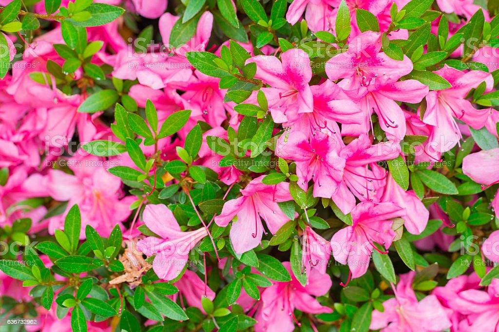 Pink Satsuki azalea flower (Azalea Rhododendron) in nature. stock photo